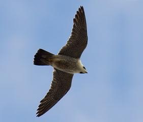 Falco peregrinus