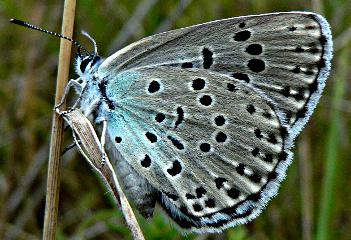 Maculinea arion