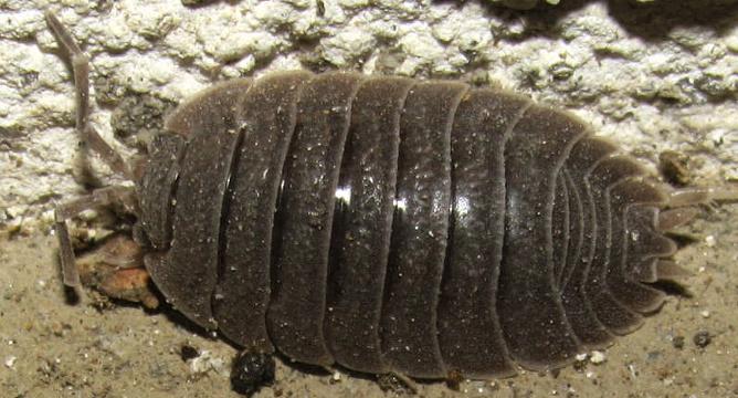 Porcellio dilatatus